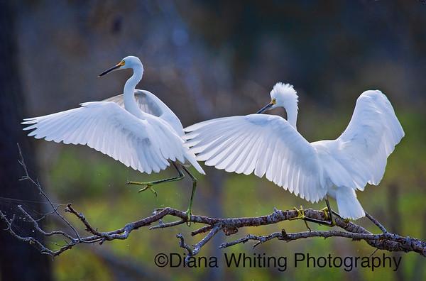 Egrets_DSC6856 copy