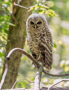 Baby Barred Owl Bacon Woods