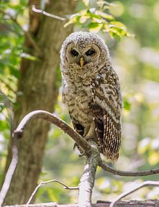 Baby Barred Owl Bacon Woods