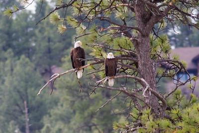 Bald Eagles IMG_5859