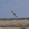 Northern Harrier IMG_6687