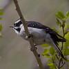 Downy Woodpecker IMG_6126