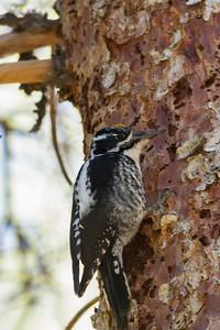 American Three-toed Woodpecker IMG_6656