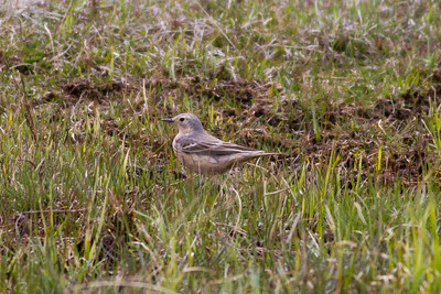 American Pipit IMG_6496