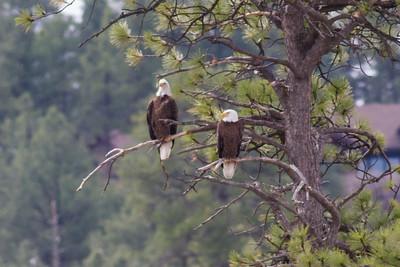 Bald Eagles IMG_5856