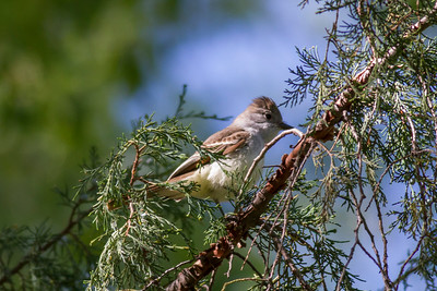 Ash-throated Flycatcher IMG_5961
