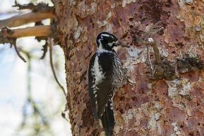American Three-toed Woodpecker IMG_6658