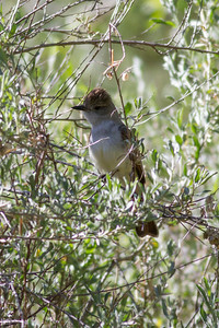 Ash-throated Flycatcher IMG_5965