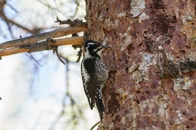 American Three-toed Woodpecker IMG_6654
