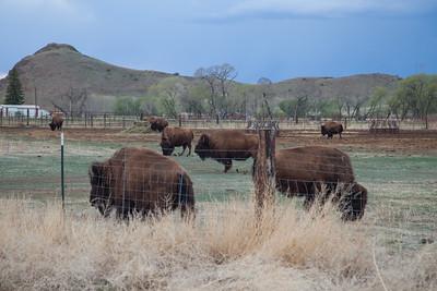 Bison, Del Norte, CO IMG_9779