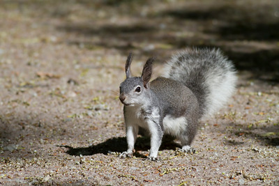 Abert's Squirrel IMG_5952