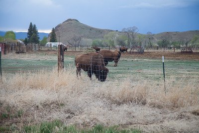 Bison, Del Norte, CO IMG_9777