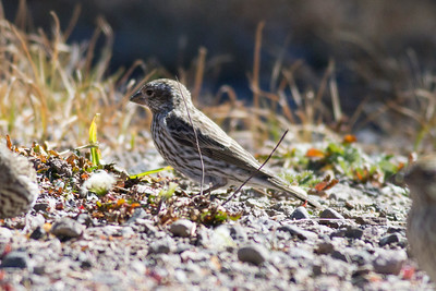 Cassin's Finch IMG_7613