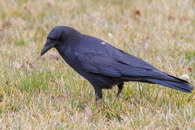 American Crow IMG_8258