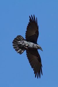Common Raven IMG_7627
