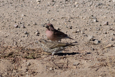 Cassin's Finch IMG_8119