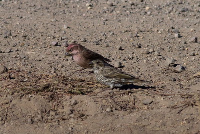 Cassin's Finch IMG_8121