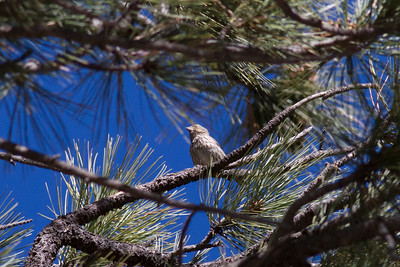Cassin's Finch IMG_7935
