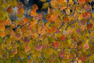 Aspen Leaves IMG_8313