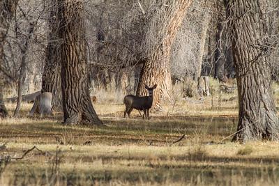Mule Deer IMG_8152