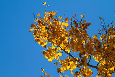 Aspen Leaves IMG_7653