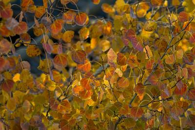 Aspen Leaves IMG_8314