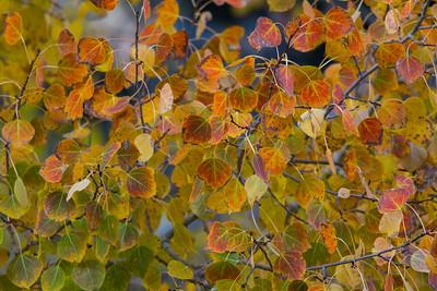 Aspen Leaves IMG_8312