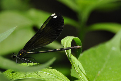 Bony Jewelwing