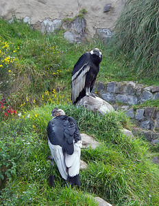 Male & Female Andean Condor