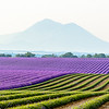 lavender field surrounded by mountains, Valensole, Provence
