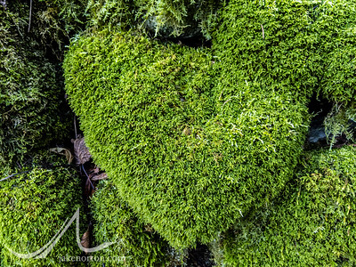 Hearts in the moss above Nesso, Italy.