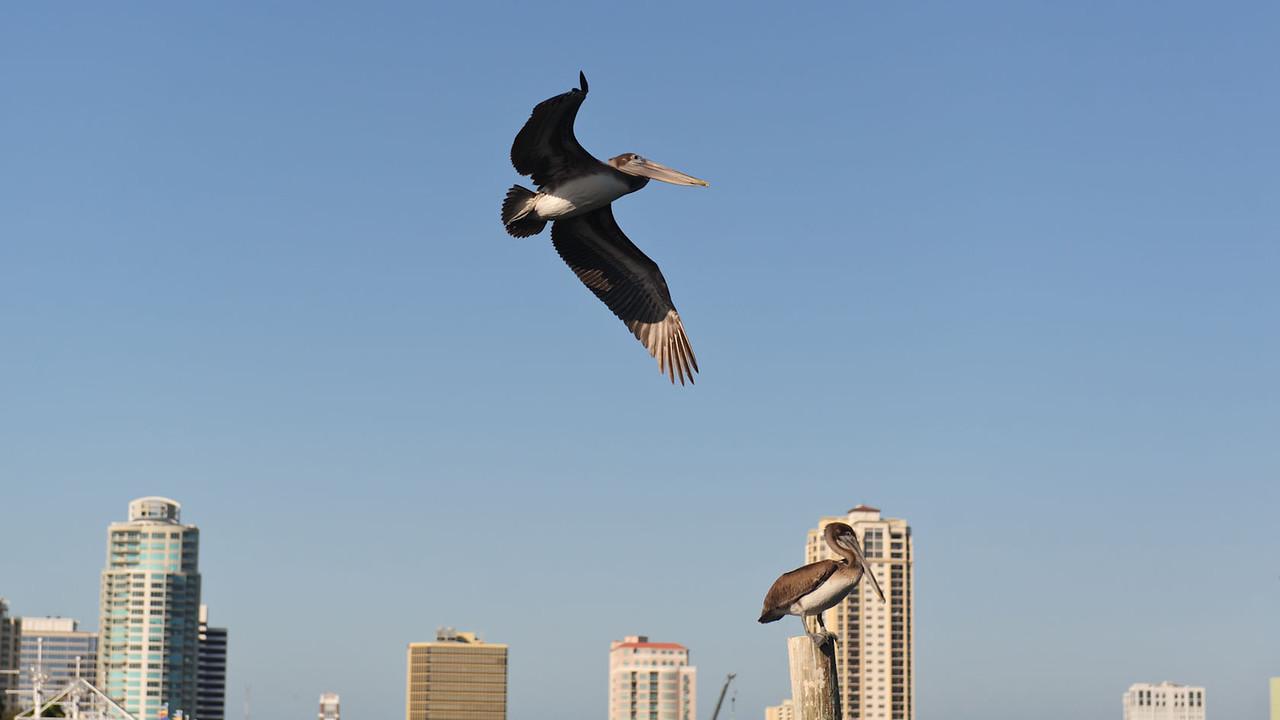 Pelican at St Petersburg, FL