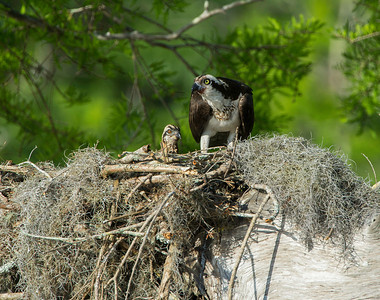 Female Osprey identified by the darker breastband