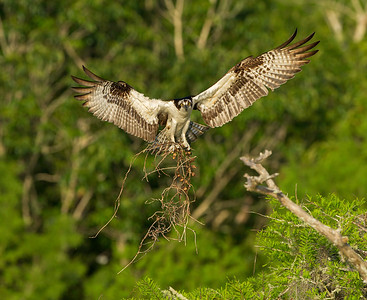 Male Osprey with the white chest bringing nesting material.