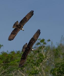 Sparing Osprey