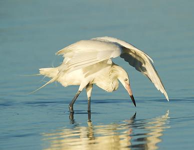 Reddish Egret White Morph