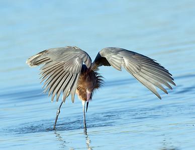 Reddish Egret Dark Morph