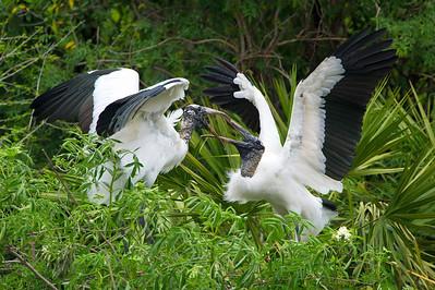Sparing Wood Storks