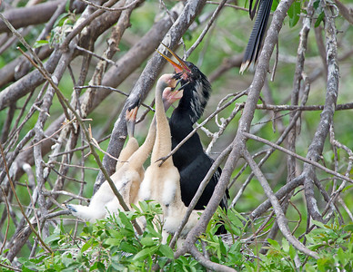 The Anhinga chicks tap at the parents beak to entice him to open his mouth.
