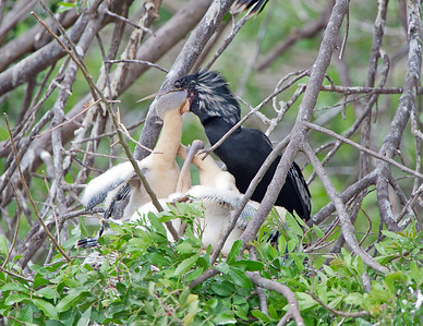 The chick sticks their head down the parents throat to feed.