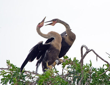 Juvenile Female Anhingas having a little disagreement.
