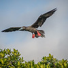 Red - footed Booby
