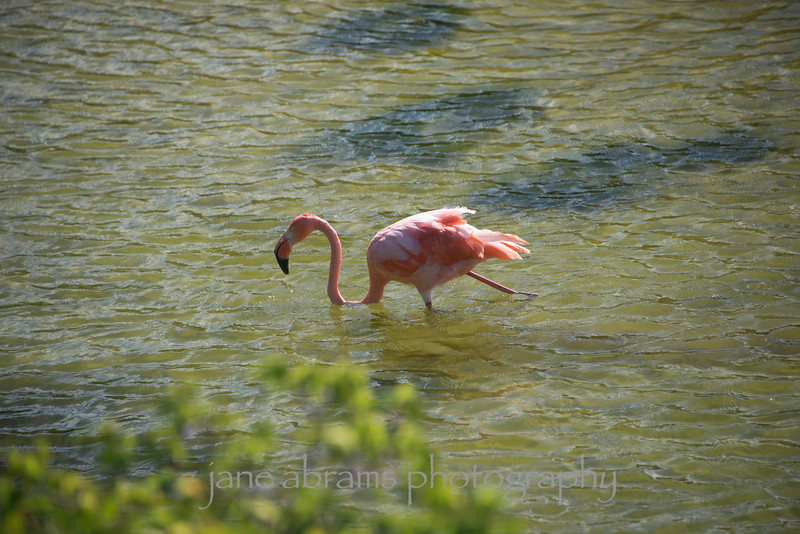 Mature Galapagos Flamingo
