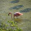 Mature Galapagos Flamingo