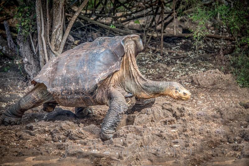 Diego.... 110 + year old Saddle-Back Tortoise
