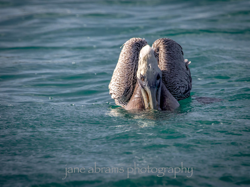 Brown Pelican after dive, emptying his pouch