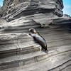 adventuresome sea lion on  Puerto Egas