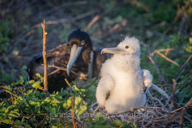 Mom and baby Frigate birds