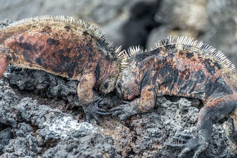 battling marine iguanas