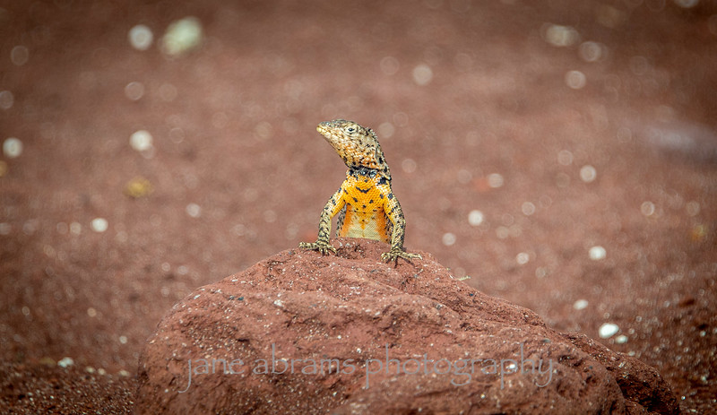 Male Lava lizard